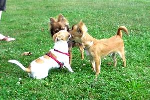 Verhaltensbeobachtungen in Hundebegegnungen