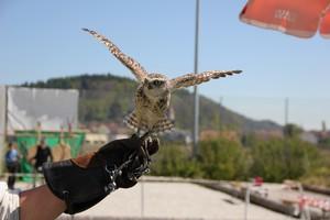 Erlebnis Falknerei und Falkenflüge